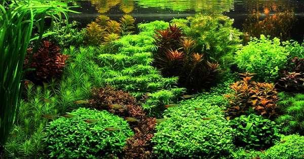 cara membuat aquscape tanpa CO2 dan filter