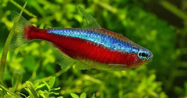 Ikan Cardinal Tetra - Ikan Aquascape yang Kuat