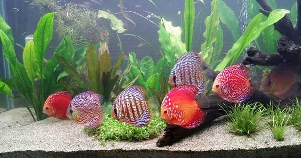 ikan discus diskus - Ikan Aquascape yang Kuat