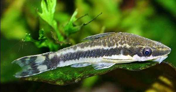 Ikan Otocinclus Ikan Aquascape Pemakan Alga/Ganggang