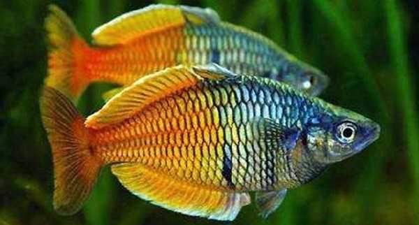 ikan rainbow Ikan Aquascape yang Kuat