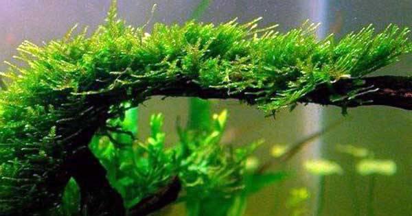 Java Moss Tanaman Aquascape di Sawah yang Mudah Dirawat