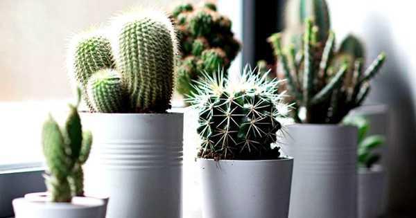 sukulen kaktus hias mini