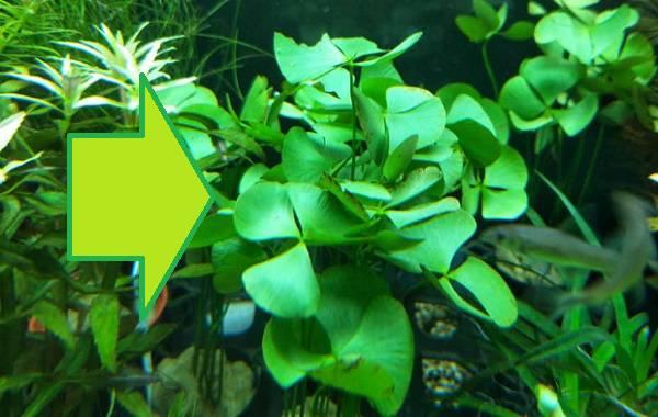 Marcelia hirsuta Tanaman Aquascape di Sawah yang Mudah Dirawat