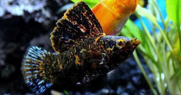 ikan mollies pembersih dan pemakan algae