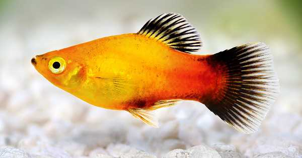 ikan platypembersih dan pemakan algae