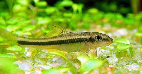 Siamese Algae Eater Ikan Aquascape Pemakan Alga/Ganggang