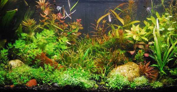 Tanaman Background Aquascape Low Light