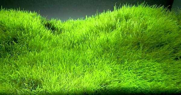 Tanaman Karpet Aquascape yang Ideal