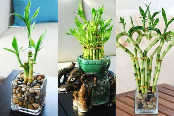 bambu rejeki tanaman hias