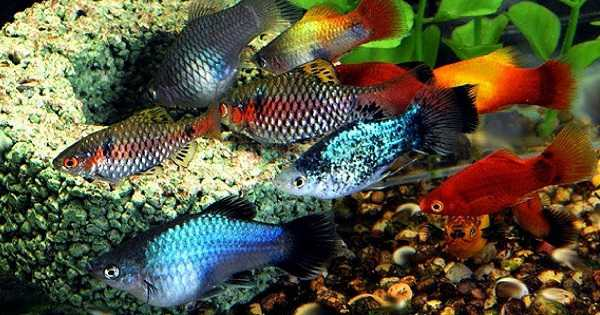 Jenis Ikan Aquascape yang Kuat