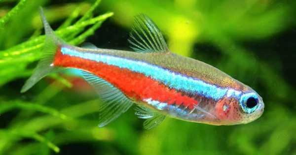 ikan neon tetra aquascape Ikan Aquascape yang Kuat