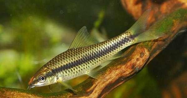 Ikan Aquascape Pemakan Alga/Ganggang