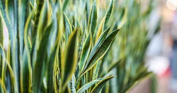 manfaat tanaman lidah mertua sensevieria