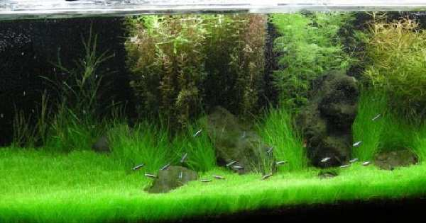 Tanaman Karpet Aquascape yang Ideal