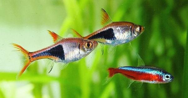 Cara membuat aquascape iwagumi dan Pemilihan Ikan yang Tepat