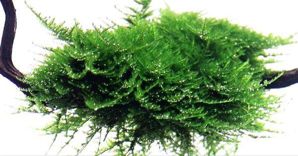 Christmas Moss Tanaman Aquascape yang Tahan dgn Kadar CO2 rendah
