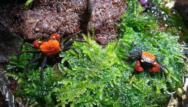 kepiting paludarium Geosarma harga cara merawat makanan geosarma