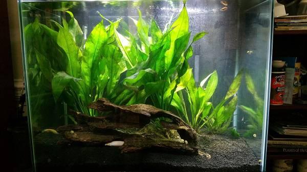 tanaman paludarium Amazon Sword Plant