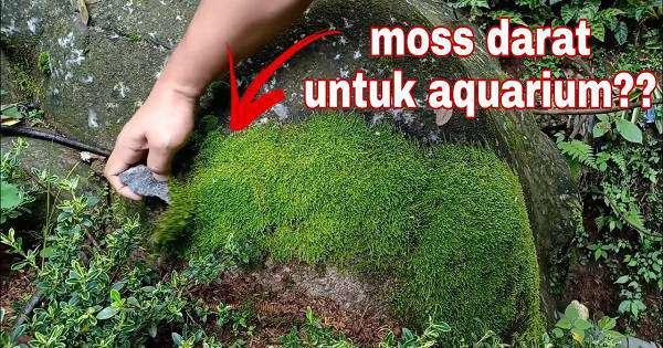 tanaman paludarium - moss darat untuk palud tank